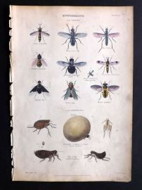 Richardson 1862 Hand Col Print. Telescope Fly, Phasia, Insects